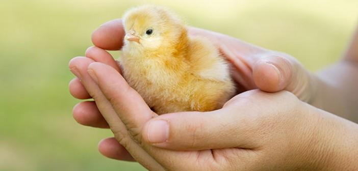 chicknew