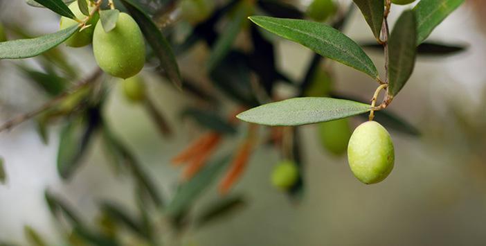 Üç Meyve Bir Ağaçta Olmaz