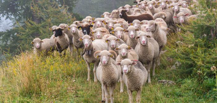 Koyun ve Keçilerin Zekâtı Nasıl Hesaplanır?