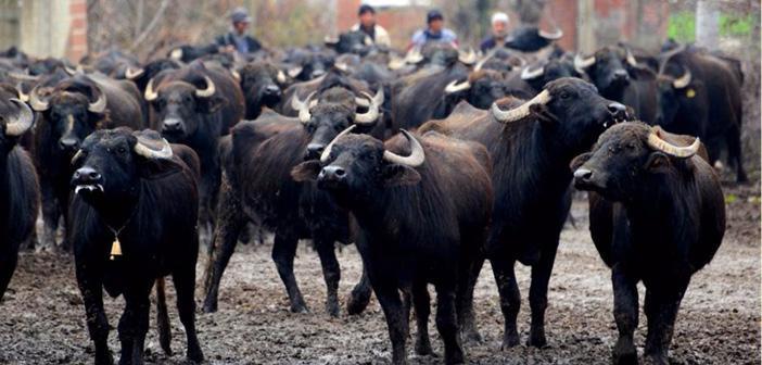 Sığır ve Mandaların Zekâtı