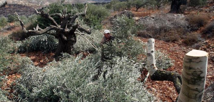 İsrail Güçleri Batı Şeria'da Filistinlilere Ait 150 Zeytin Ağacını Söktü