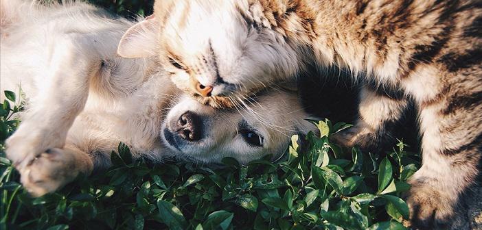 Koronavirüs (Kovid-19) Evcil Kedi ve Köpeklerde Görülüyor mu?