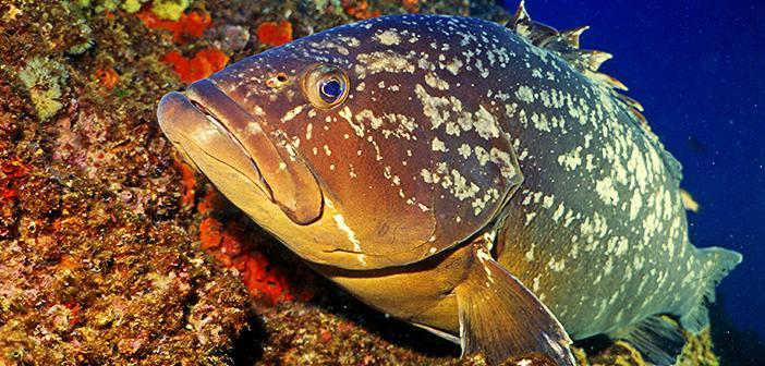 Orfoz Balığının Önemi